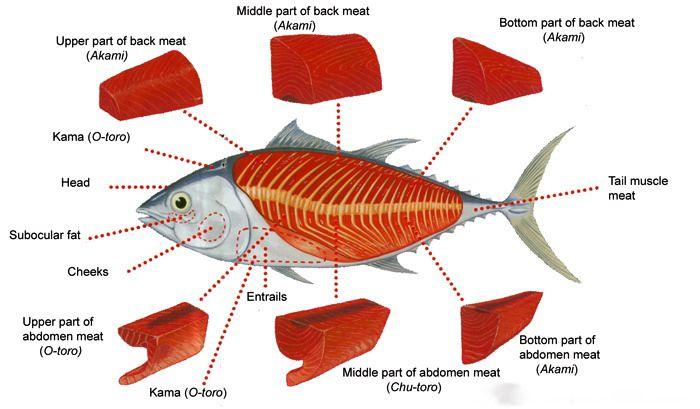 ส่วนประกอบทูน่า ซูชิ tuna_anatomy